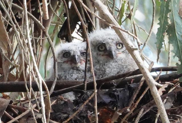 Rodent Poison Kills Great Horned Owl