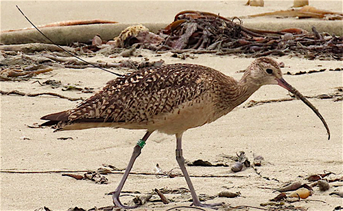 A Curlew's Journey — From Idaho to  Morro Bay