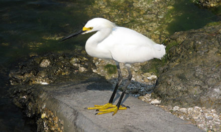 The Natural World  – Foot Stomping Egret