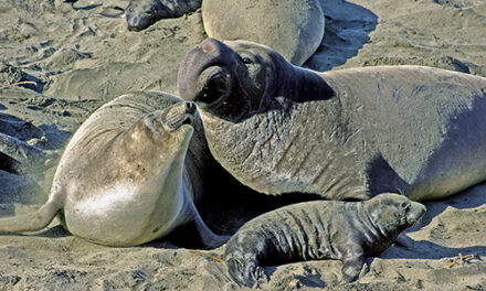 The Natural World COVID-19 and the Elephant Seals