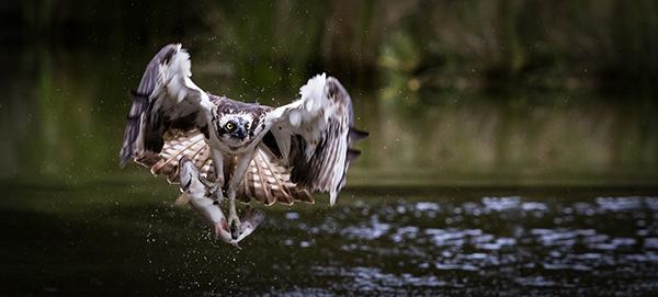 Nesting Osprey Welcome