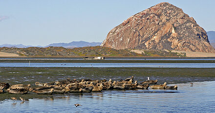 Natural World The Harbor Seals of Morro Bay