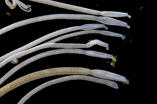 Acanthocephala is a phylum of parasitic worms known as acanthocephalans, thorny-headed worms