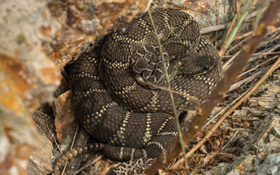 Keeping up with the Rattlesnakes — Limited Time