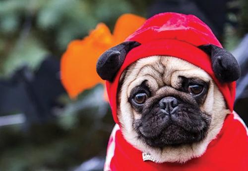 Costumed pug